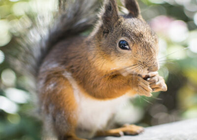 squirrel-2371509_1920